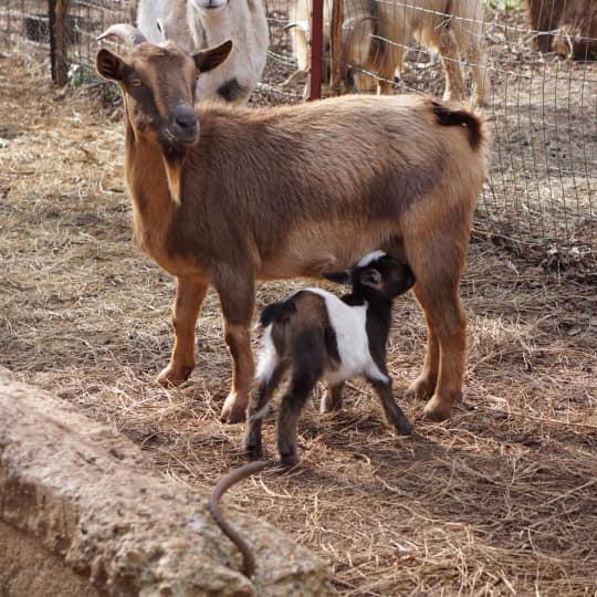 ywam-tyler-agtech-missionary-goats